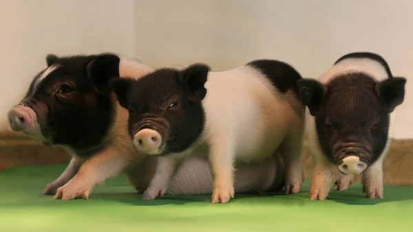 Logran crear los primeros cerdos libres de virus para trasplantes de ...