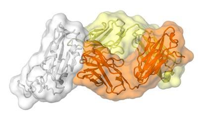 El anticuerpo CR3022, producido por un sobreviviente del SARS, también se une al nuevo coronavirus. (Imagen: cortesía de Meng Yuan y Nicholas Wu del laboratorio Wilson).