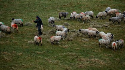 Un pastor atiende a sus ovejas en una propiedad cerca de Hawes en North Yorkshire, Gran Bretaña, el 9 de enero de 2020 (REUTERS/Phil Noble)