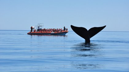 La ballena franca austral, símbolo inequívoco de la Península,la visita de junio a diciembre, obsequiándoles a quienes la visitan su majestuosa belleza y fascinante existencia