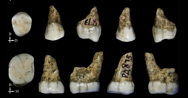 Los cuatro dientes hallados en Tongzi fueron estudiados con microtomografías computadas. (Song Xing/Instituto de Paleontología de Vertebrados y Paleoantropología de China)