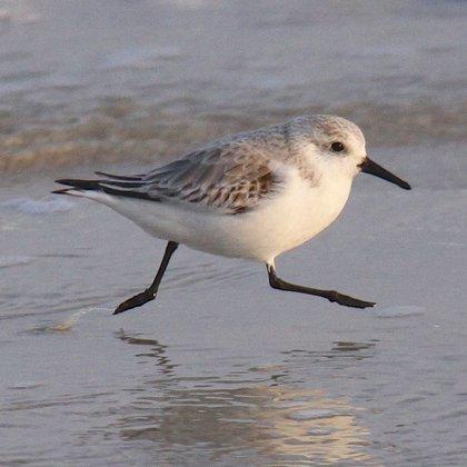 El pájaro lavandero está entre las aves menos instagrameables