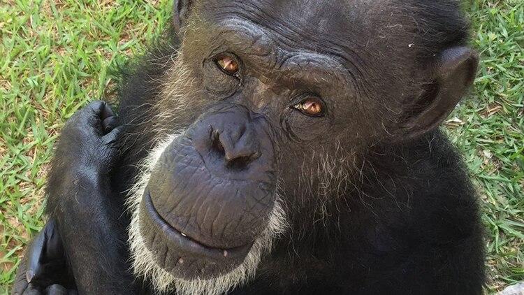 Cómo vive hoy Cecilia, la chimpancé liberada en Mendoza gracias a un hábeas corpus