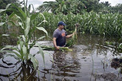 Un campesino revisa su cosecha de maíz inundada, en la ciudad de Villahermosa, en el estado de Tabasco con la tormenta tropical Cristobal Foto: (EFE/Jaime Avalos)