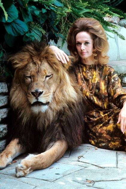 En 1971, Tippi Hedren y su familia posaron para la revista Life mostrando su vida cotidiana con un león en su mansión de Beverly Hill (Crédito: Shutterstock)