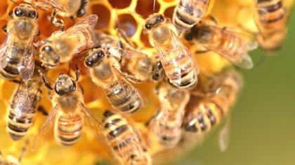 En diciembre de 2013 una pareja estadounidense falleció tras ser atacada por 30 mil abejas africanas (Getty)