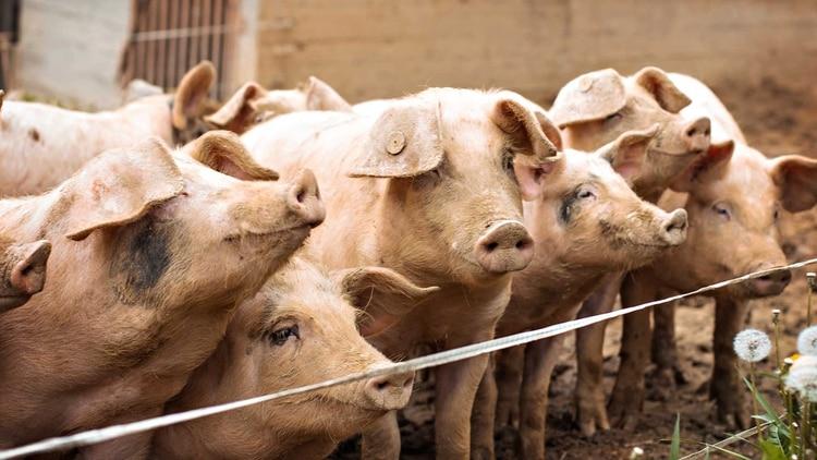 Los porcinos causaron la pandemia anterior a la Covid-19, la gripe H1N1.