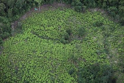 Foto de archivo. Vista aérea de un cultivo de hoja de coca en Tumaco, Colombia, 26 de febrero, 2020. REUTERS/Luisa González
