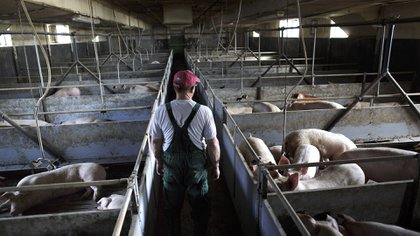 Debido al interés de China por encontrar nuevos proveedores, se comenzó a hablar de inversiones de ese origen en el sector porcino (Getty)