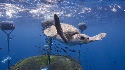 Una tortuga nada alrededor de un dispositivo de agregación de peces (LAT 04:07 NORTE / LARGO 091: 28 OESTE - © Alex Hofford / Greenpeace)