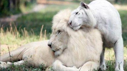Su padre, Ivory Marfil, es un león blanco africano y su madre, Saraswati, es una tigresa de Bengala blanca como la nieve