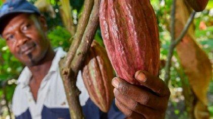 Cultivador de cacao. Foto: Agronet