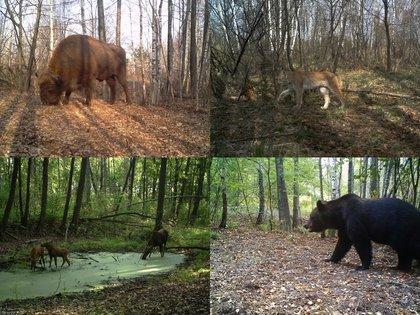 Bisonte europeo (Bison bonasus), lince boreal (Lynx lynx), alces (Alces alces) y oso pardo (Ursus arctos) fotografiados por las cámaras del proyecto TREE dentro de la zona de exclusión de Chernóbil (Ucrania)(Proyecto TREE/Sergey Gaschack)