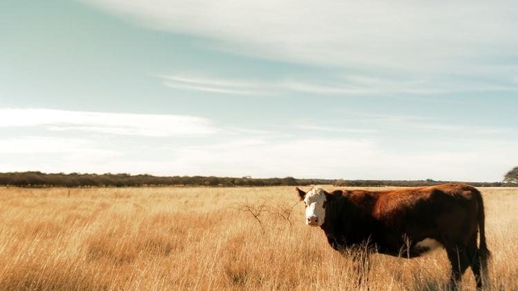 """El """"mal de la vaca loca"""" puede ser transmitido a seres humanos a través de la ingesta de carne, pero no existe transmisión entre seres humanos (Getty)"""