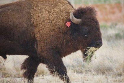 Dentro del continente americano el cuadrúpedo, también llamado búfalo, es considerado el mamífero terrestre más grande del continente americano (Foto: Eduardo Ponce/CONANP)