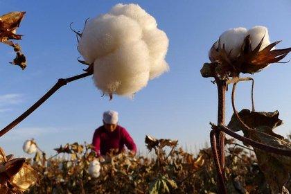 Cosecha de algodón en un campo en Hami, en la región autónoma china de Xinjiang (Reuters)
