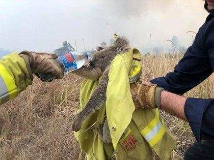 Los bomberos le dan agua a un koala rescatado en Jacky Bulbin Flat, Nuevo Gales del Sur (PAUL SUDMALS/via REUTERS)