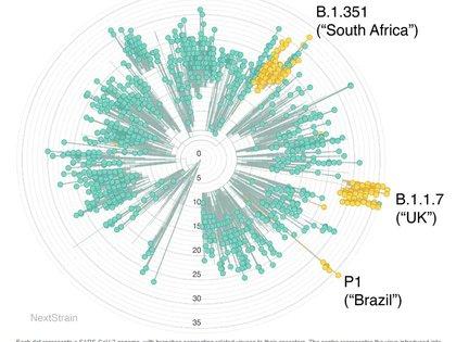 Cada punto representa un genoma del SARS-COV-2, con ramas que conectan los virus con sus ancestros. El centro representa el virus introducido a los humanos. Los virus que están más alejados del centro tienen más mutaciones. En amarillo están destacados las tres variantes nuevas. (NextStrain / CC BY 4.0)