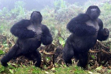Científicos descubrieron que los gorilas se golpean el pecho para presumir lo grande y temibles que son (Sebastián Carrasco/Europa Press)