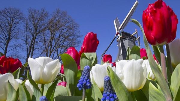 En 1637 un tulipán podía costar más que una casa, una granja o toneladas de alimento