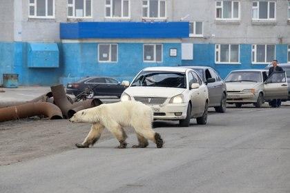 Según la opinión de los expertos, la osa estaba demasiado limpia para haber recorrido un viaje de más de 800 kilómetros (Foto: Reuters Irina Yarinskaya/Zapolyarnaya Pravda)