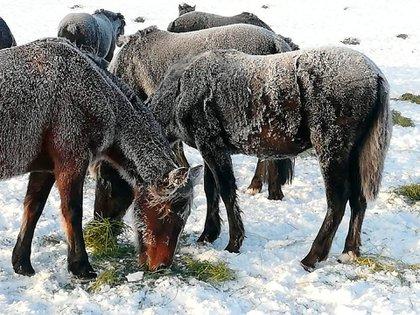 La Patagonia está sufriendo uno de los peores inviernos de los últimos años, con fuertes nevadas que llegaron a dejar 1,5 metros de nieve sobre la superficie y temperaturas extremas que se situaron en torno a los 20 grados bajo cero (Foto: CRA)