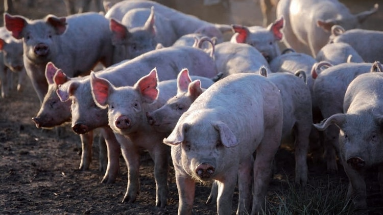 El mercado porcino local logró pasar de un consumo por habitante por año de 6 kilos en el 2009 a los actuales casi en 19 y 20 kilos.
