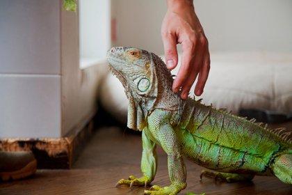 Lo cierto es que cada año se venden el país miles de animales exóticos. Se pueden comprar fácilmente por Internet, repleto de sitios que los ofrecen a diferentes precios -en general bastante elevados- y que hasta dan instrucciones sobre su cuidado (Shutterstock)