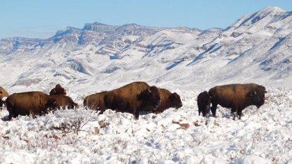 El proyecto comenzó con la donación de 23 búfalos del Wind Cave National Park (Foto: Twitter@Mary_Luisa_AG)