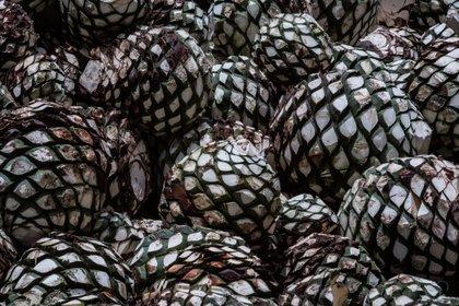 Las medidas sanitarias no han mermado la producción, pero han ralentizado el proceso de elaboración del tequila (Foto: Bloomberg / Mauricio Palos)