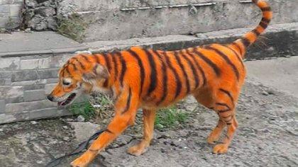 Una imagen del perro cubierto de pintura naranja y con rayas negras (Fotos: Persatuan Haiwan Malaysia)