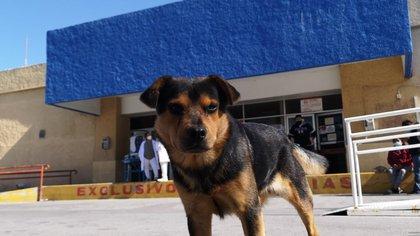 El perro mestizo llevaba semanas corriendo entre las puertas del hospital para ver si salía su dueño (Foto: Facebook/Sin Frontera)