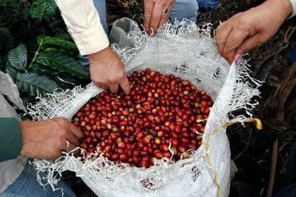Foto de archivo. Productores inspeccionan granos de café en una plantación cerca del municipio de Viotá, en el departamento  de Cundinamarca, Colombia, 2 de marzo, 2012. REUTERS/José Miguel Gómez