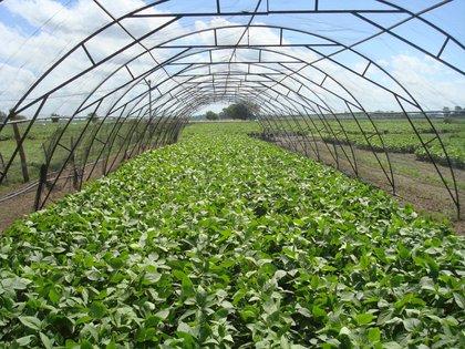 El promedio de semillas por vaina en las variedades comerciales de soja es de tres porotos. La Tango-4S se logró sin disminuir el número de vainas por planta ni el peso unitario por grano