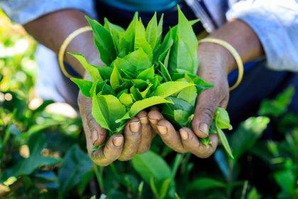 El Día Internacional del Té tiene como objetivo afirmar los derechos de los trabajadores de las plantaciones y pequeños productores, construír una conciencia global y colaborativa entre todos los organismos interesados, identificar políticas responsables, fortalecer la promoción y campañas y facilitar el consumo y comercio justo del té (Shutterstock)