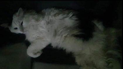 Un gato que viajaba con su dueña en la Línea 12 del Metro sobrevivió el derrumbe
