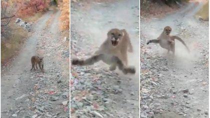 Durante varios momentos la madre puma lanzó zarpazos al aire en abierta amenaza al senderista Foto: Captura de pantalla video @kunkyle