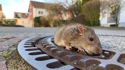 Este tipo de experimentos en roedores pueden arrojar nuevos datos sobre personas con Parkinson y los efectos de la depresión (Foto: Reuters)