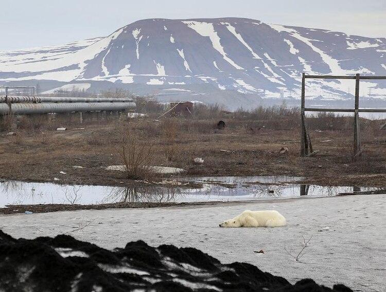 La imagen de la osa se convirtió en estos días en un símbolo de las consecuencias devastadoras del cambio climático, tal y como ocurrió este martes con la fotografía viral de los lobos cruzando una capa de hielo derretida en Groenlandia (Foto: especial)