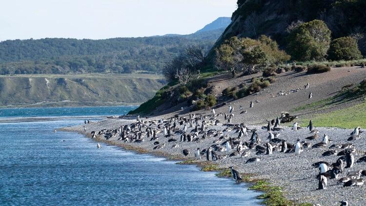 Pingüinos en la pingüinera Harberton, Ushuaia. (Greenpeace)