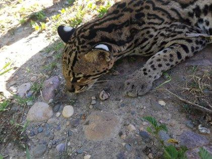 El ejemplar encontrado es de una especie (nombre científico Leopardus Pardalis) de interés de conservación de fauna nacional y no califica en peligro de extinción