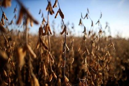 Sube el precio de la soja en el mercado de Chicago (Reuters)