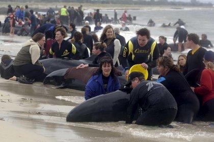 Decenas de ballenas, que fueron rescatadas por los equipos de rescate, quedaron varadas por segunda vez cerca de Farewell Spit, el arenal natural más largo del mundo, situado al noroeste de la Isla Sur de Nueva Zelanda, informaron este martes fuentes oficiales. EFE/Annaliese Frank /Archivo
