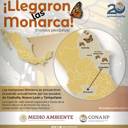 Se estima que en los próximos días las mariposas Monarca aparezcan en cantidades más grandes en más estados froterizos (Foto: CONANP)