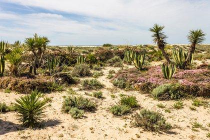 Como su nombre indica, Praia da Ilha de Tavira es una isla, o más bien, es un banco de arena con forma de duna que flota frente a la costa en la bonita Tavira