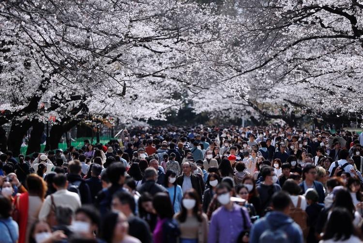 En Japón, miles de personas salieron a apreciar el florecimiento de los cerezos, pese a la pandemia (Reuters)