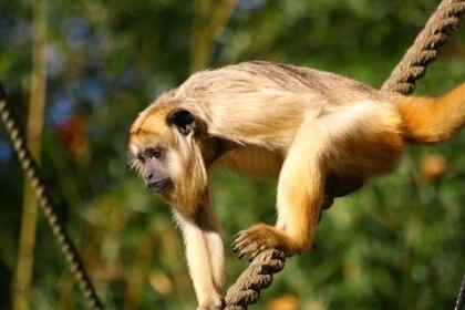 También son conocidos como monos aulladores: sus sonidos pueden ser oídos a más de un kilómetro de distancia