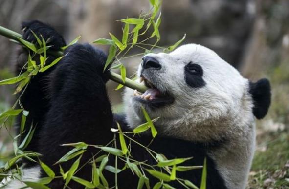 Bao Bao, el panda gigante (Foto: Twitter)