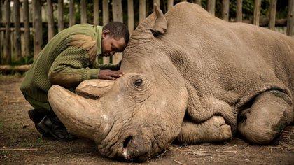 Joseph Wachira despidiendo a Sudán, el último rinoceronte blanco macho del mundo. (Ami Vitale - National Geographic)