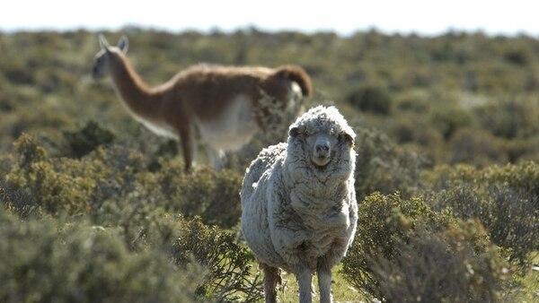 En la Patagonia, el guanaco es una plaga de dos millones de animales que compite con el ganado ovino por las pasturas y el agua. Se estima que por cada espécimen se pierden dos ovejas